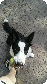 Border Collie Puppy for adoption in All Cities, South Carolina - Morgan