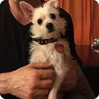Adopt A Pet :: Ollie Wiggles - Van Nuys, CA