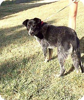 Australian Cattle Dog Mix Dog for adoption in Allen, Texas - Sansa