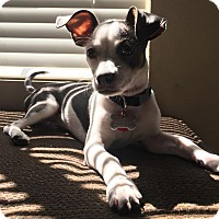 Chihuahua Mix Puppy for adoption in Jacksonville, Florida - Chance