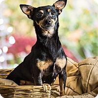 Adopt A Pet :: Heidi - Yelm, WA