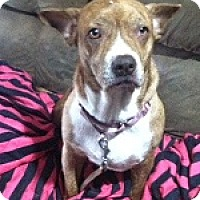 Adopt A Pet :: Shu - Dripping Springs, TX
