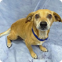 Adopt A Pet :: Buck - Pico Rivera, CA