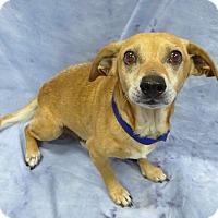 Chihuahua Mix Dog for adoption in Pico Rivera, California - Buck