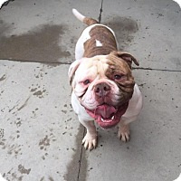 English Bulldog/American Bulldog Mix Dog for adoption in Beverly Hills, California - BUBBA A707080 @ Rancho Cucamon
