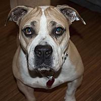 Adopt A Pet :: Kahlua - Beverly Hills, CA