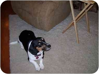 Dachshund/Basset Hound Mix Dog for adoption in Waukesha, Wisconsin - Stewie