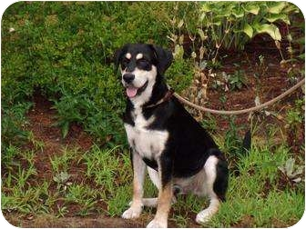 Treeing Walker Coonhound/German Shepherd Dog Mix Puppy for adoption in