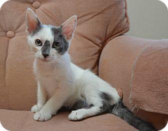 Domestic Mediumhair Kitten for adoption in Davis, California - Vanessa