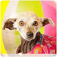 Chihuahua/Mexican Hairless Mix Dog for adoption in Phoenix, Arizona - Laverne