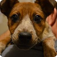 Adopt A Pet :: Chloe - Westminster, CO