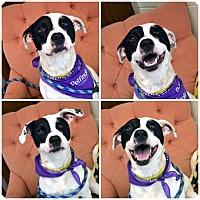 Adopt A Pet :: Bella - Toledo, OH