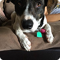 Adopt A Pet :: Iggy - Austin, TX