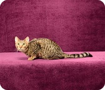 Domestic Shorthair Cat for adoption in Cary, North Carolina - Jax