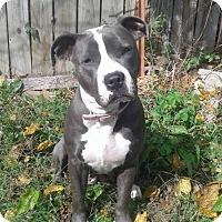 Adopt A Pet :: Raja - Kansas City, MO
