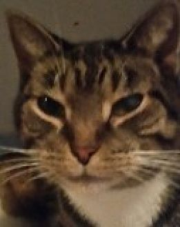 Domestic Shorthair Cat for adoption in Livonia, Michigan - Jordan