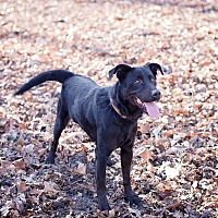 Labrador Retriever Mix Dog for adoption in Lewisville, Indiana - Jesse