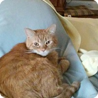 Domestic Shorthair Cat for adoption in Gainesville, Virginia - Camden