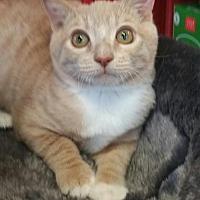 Domestic Shorthair Cat for adoption in Walnut Creek, California - Cuddles