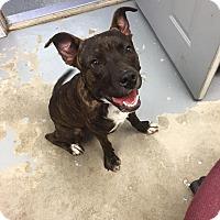 Adopt A Pet :: Rex - Schererville, IN