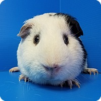 Guinea Pig for adoption in Lewisville, Texas - Voldemort