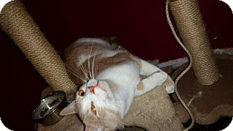 Domestic Shorthair Cat for adoption in Lindsay, Ontario - Larry