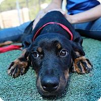 Adopt A Pet :: Emma Bloom - Brooklyn, NY