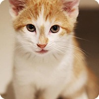 Adopt A Pet :: Pikachu - Thornhill, ON
