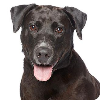 Labrador Retriever Mix Dog for adoption in Los Angeles, California - Chocolate