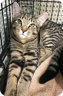 Domestic Shorthair Kitten for adoption in Furlong, Pennsylvania - James