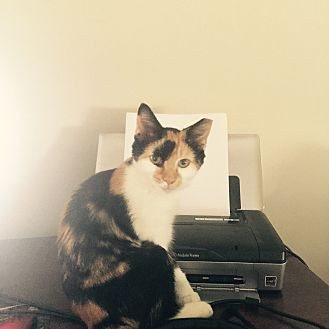 Calico Cat for adoption in Spartanburg, South Carolina - Tabitha