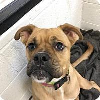 Adopt A Pet :: piglet - Miami, FL