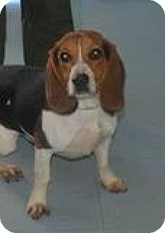 Beagle Mix Dog for adoption in Columbia, South Carolina - B.B.