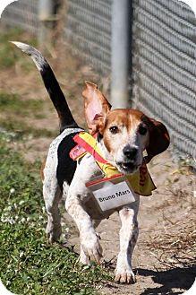 Beagle Dog for adoption in Tampa, Florida - Bruno Mars
