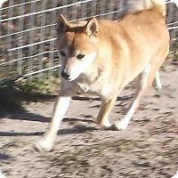 Shiba Inu Dog for adoption in Bonifay, Florida - Sparkle