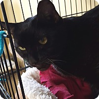 Domestic Shorthair Cat for adoption in Salisbury, Massachusetts - March