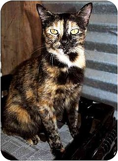 Domestic Shorthair Cat for adoption in Thibodaux, Louisiana - Sunflower FE1-7322