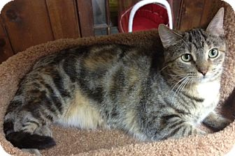 Domestic Shorthair Cat for adoption in Byron Center, Michigan - Bansari