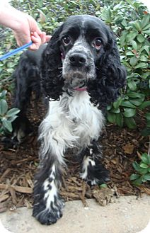 Cocker Spaniel Dog for adoption in Sugarland, Texas - Bella