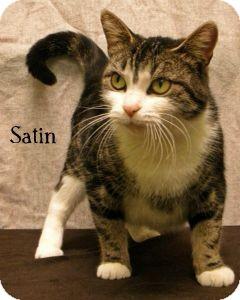 Domestic Shorthair Cat for adoption in Warren, Pennsylvania - Satin