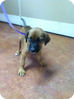 PIXIE ADOPTION PENDING | Adopted Puppy | Manchester, CT ...