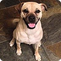 Adopt A Pet :: Sugar - Austin, TX