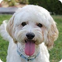 Adopt A Pet :: Lambchop - La Costa, CA