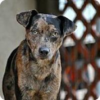 Adopt A Pet :: Boodrow - Austin, TX