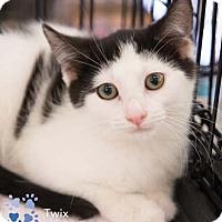 Adopt A Pet :: Twix - Merrifield, VA
