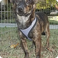Miniature Pinscher/Chihuahua Mix Dog for adoption in Memphis, Tennessee - Tiger