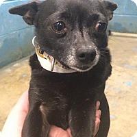 Adopt A Pet :: Onyx - Oak Ridge, NJ