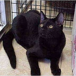 Photo 3 - Domestic Shorthair Cat for adoption in Deerfield Beach, Florida - Castaway