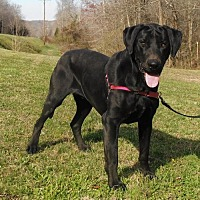 Labrador Retriever Mix Dog for adoption in Franklin, Tennessee - MAJOR