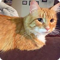 Adopt A Pet :: Butterscotch - Arlington/Ft Worth, TX